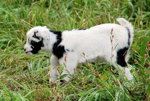 LiL Billy Goat
