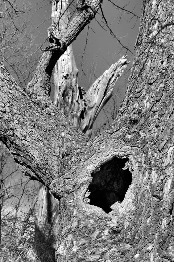 Hollow Tree 2/28/2015 Photo by Clarence Holm