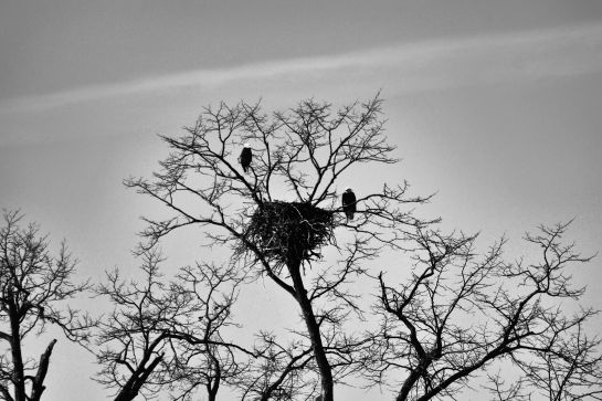 Back On Nest 2/28/2015 Photo by Clarence Holm