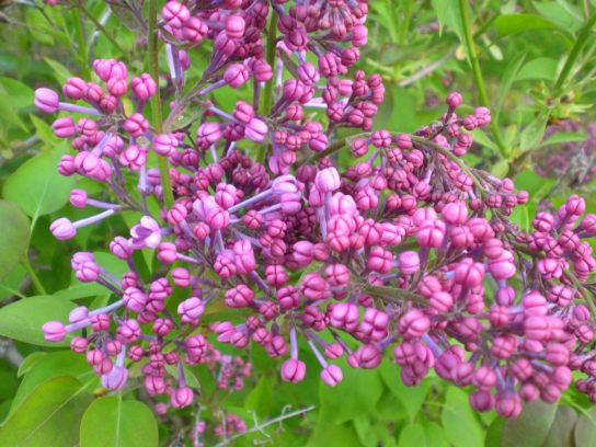 Springtime Lilacs In Bloom Microsoft Clickart