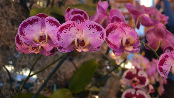 Orchids at Minnesota Arboretum Photo by Clarence Holm 2/14/2014