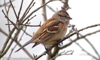 Winter Sparrows - Audubon Guides American Tree Sparrow blog.audubonguides.com
