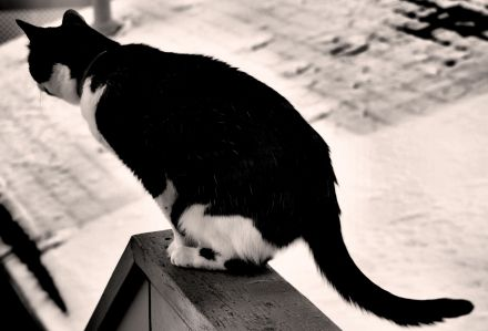 Charlie the Cat Black & White Photo by Clarence Holm