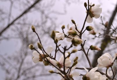 Springtime Peach Blossoms - b Minnesota (4/48/2015) Photo - Clarence Holm
