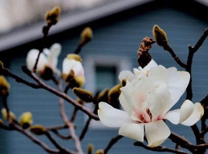 Springtime Peach Blossoms - a Minnesota (4/48/2015) Photo - Clarence Holm