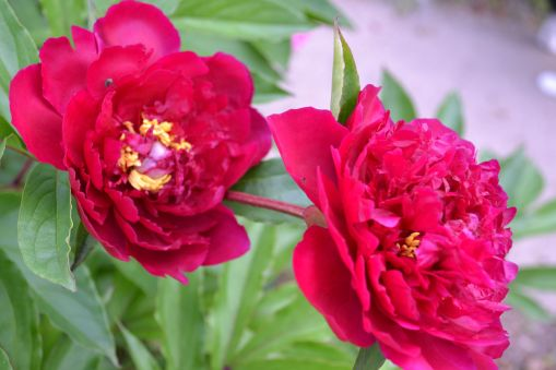Great Grandma's Peonies