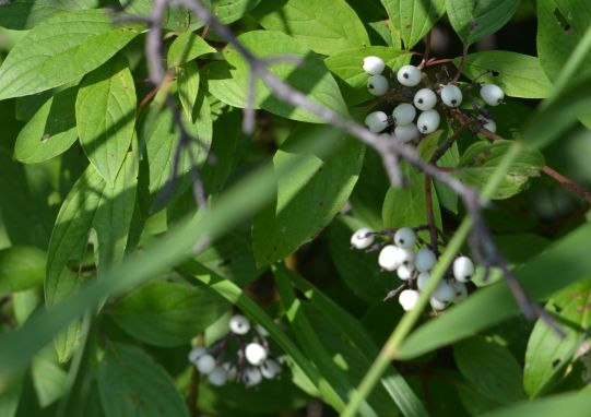 White Baneberry (Actaea pachypoda) - Also known as Doll's Eyes Photo Credit - Clarence Holm 7/18/2015