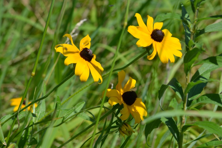 Black-eyed Susan (Rudbeckia hirta) Photo Credit - Clarence Holm Wildflower 7/19/2015