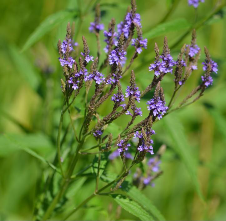 Blue Vervain (Verbena hastata) Photo Credit - Clarence Holm Wildflower 7/19/2015