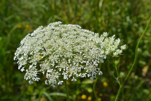Common Cow Parsnip (Heracleum lanatum) County 30 - Delano, MN Photo - Clarence Holm