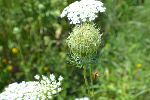 Common Cow Parsnip (Heracleum lanatum) 2 County Rd 30 - Delano, MN Photo - Clarence Holm