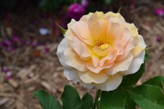 Sun Kissed Rose Minnesota Arboretum  Photo - Clarence Holm 7/5/2015