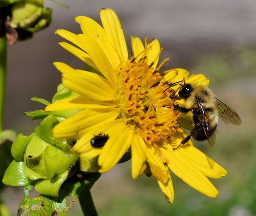 Gumweed (Grindelia squarrosa) with Bumble Bee Vacant Lot - Delano, MN 7-25-2015 Photo - Clarence Holm