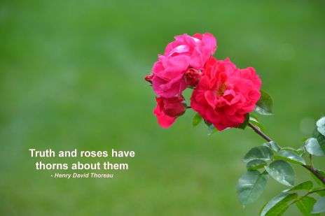 Ruby Red Rose Photo - Clarence Holm 7/6/2015