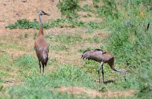 Sandhill Cranes Photo - Clarence Holm 7/28/2015