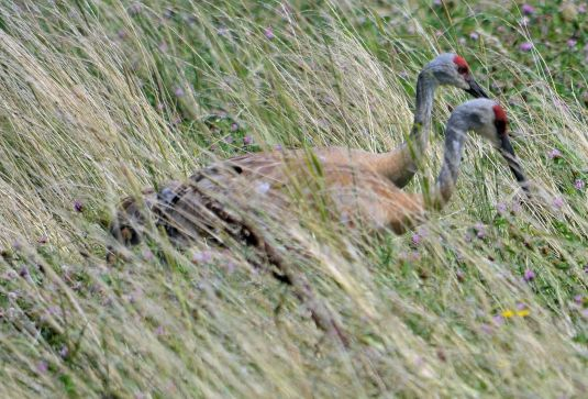 Sandhill Cranes Photo - Clarence Holm 7/28/2015