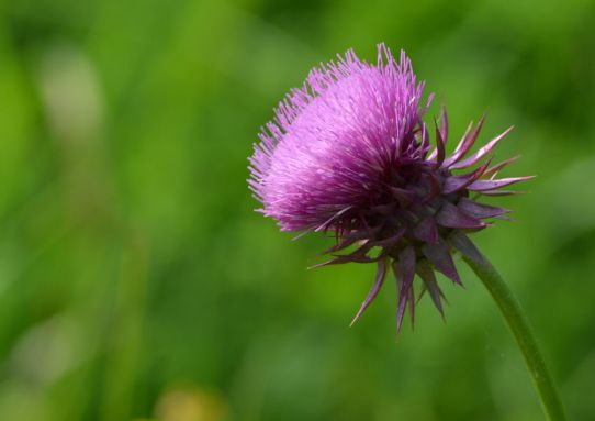 Plumeless Thistle (Carduus acanthoides) Photo Credit - Clarence Holm 7/18/2015