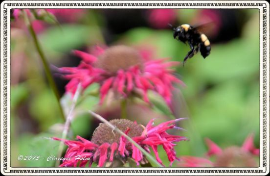 A Bumble Bee is a big, hairy, black and yellow bee that can range in size from 3/4 inch to 1 1/2 inch. They pollinate flowers as they search for nectar. Normally a very docile bee who will only sting if cornered or the nest is threatened.