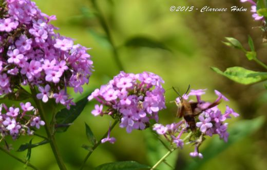 hummingbird moth3