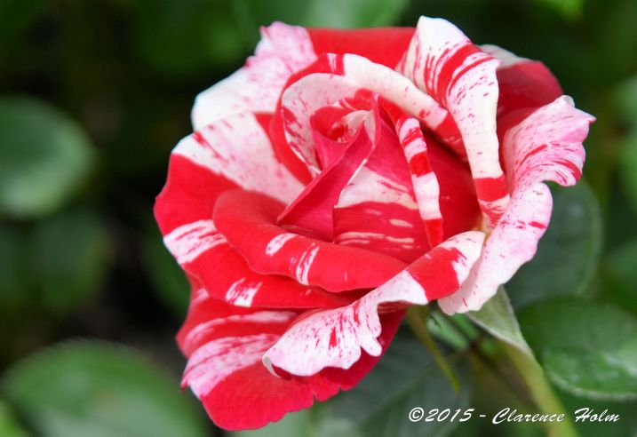 white red rose