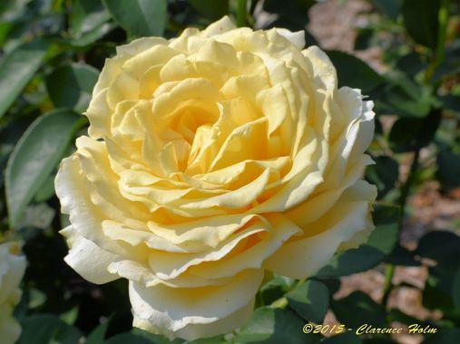 Summer Rose ©2015 - Clarence Holm Minnesota Arboretum