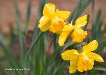 daffodil 4-24-16