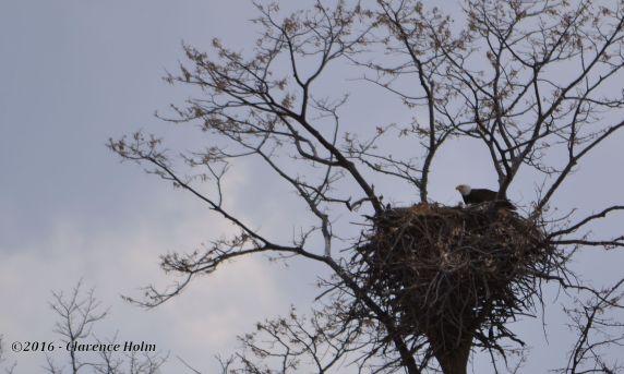 eaglets2