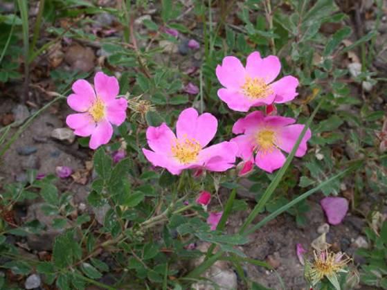 rosa-arkansana-prairie-wild-rose-plant