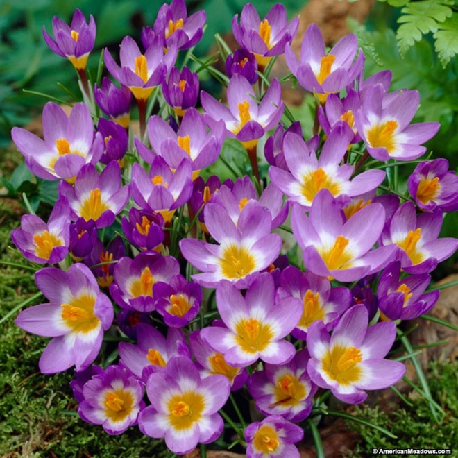 wild_crocus_tri_color