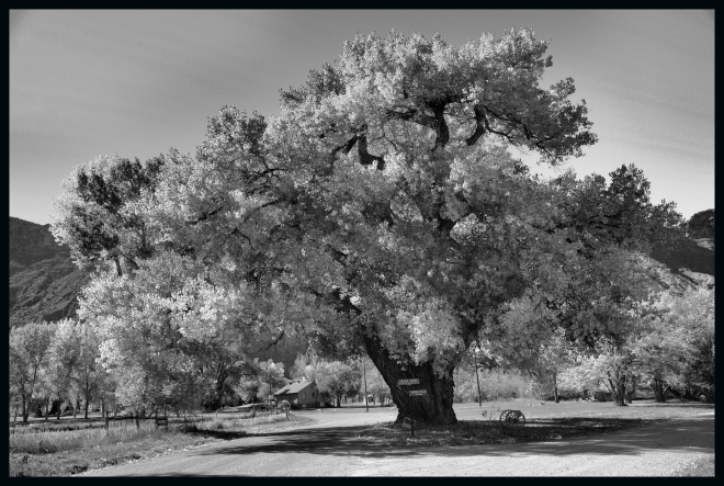 cottonwood bw