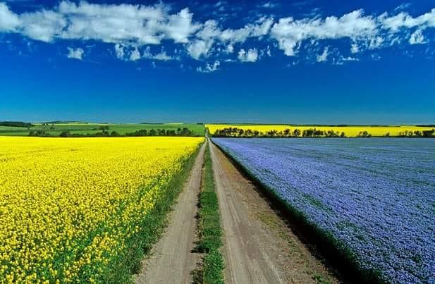 Canola and flax fields near Minot, ND