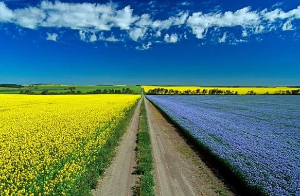 Canola and flax fields near Minot, ND